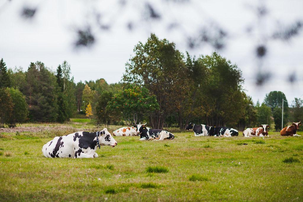Lehmät köllöttelevät Taapajärvellä